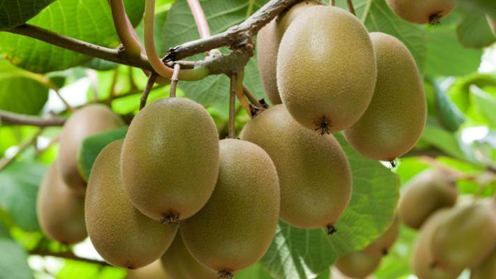 Pillar Consultancy – Taking Care Of The Kiwifruit Industry